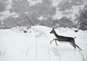 deer_israel_snow
